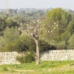 albero-kyrios